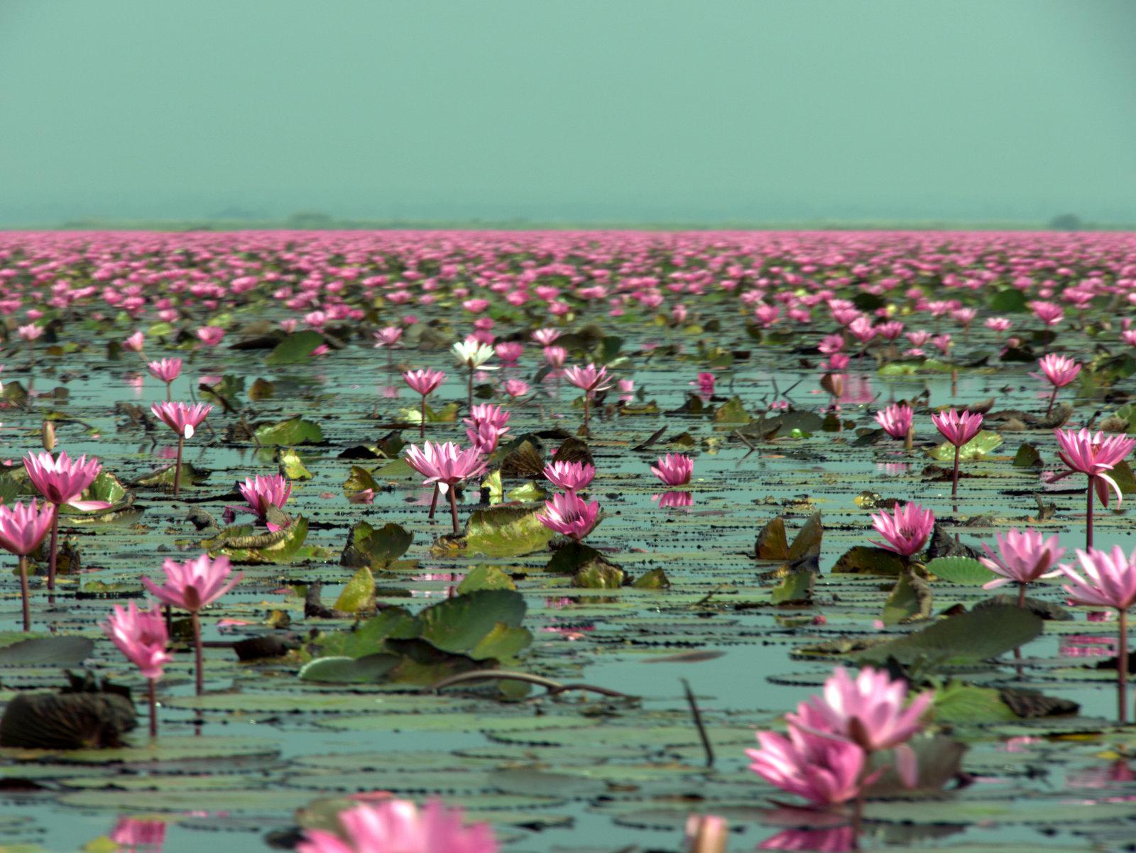 Kumphawapi Thailand  City new picture : Lotus Lake Boat Trip Nong Han Kumphawapi