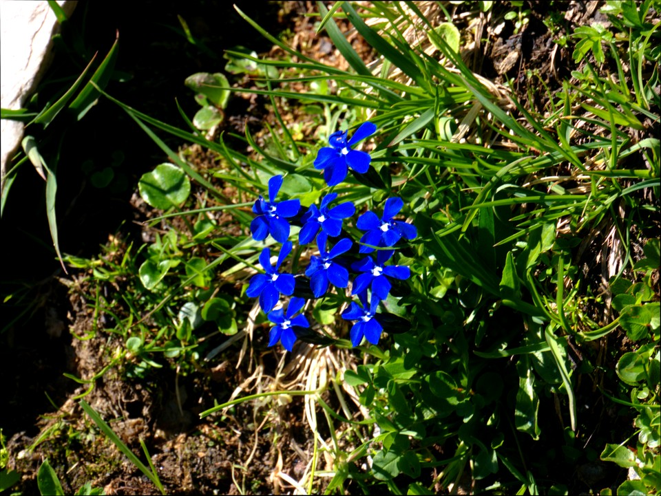 Intense blue gentians