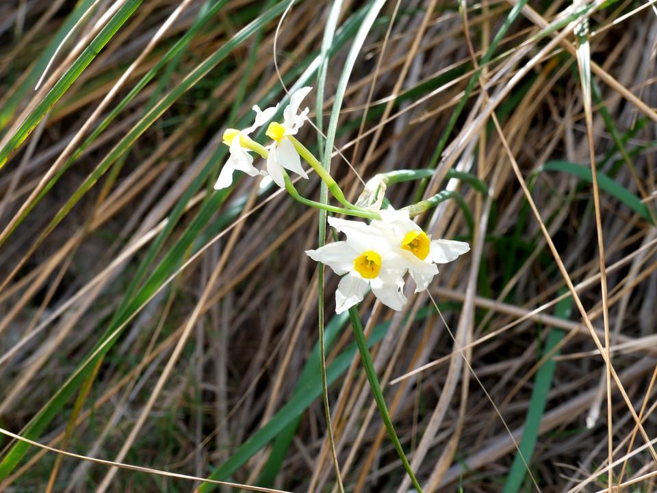 Spring narcissus spp