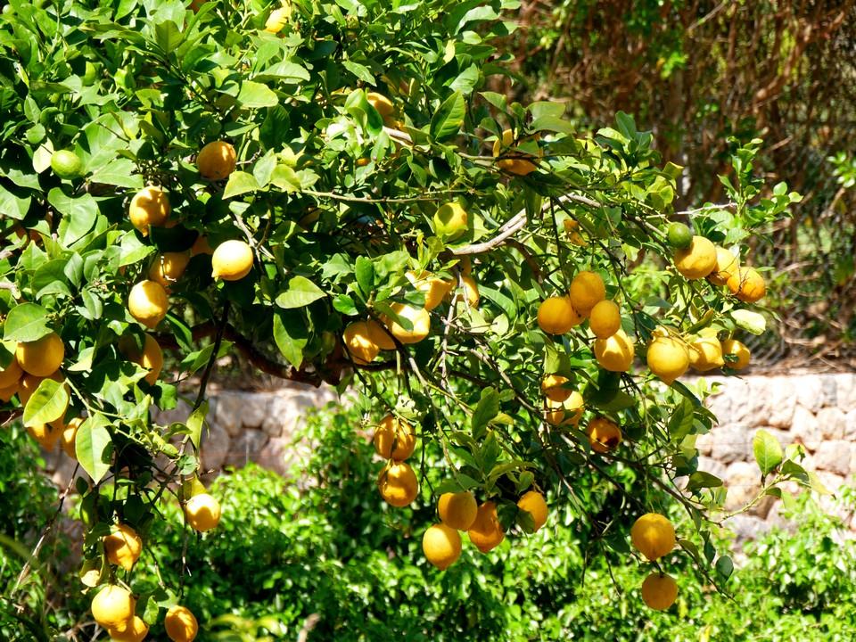Through orange groves