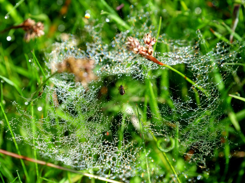 A spider in the grass. Its web covered with the morning dew.