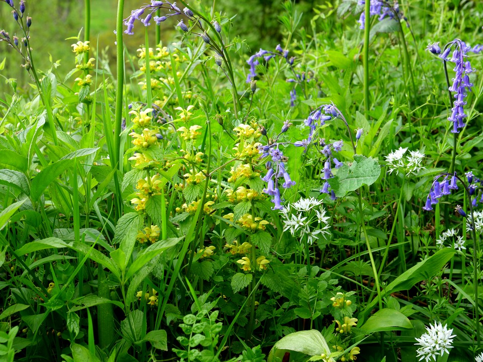 Bluebell, yellow archangel and wild garlic