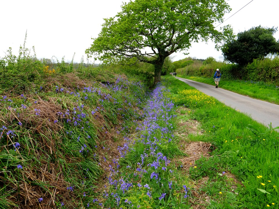 and bluebells on the roadside verges and ditches