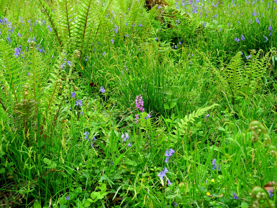 Orchids, ferms and bluebells in Musbury Castle