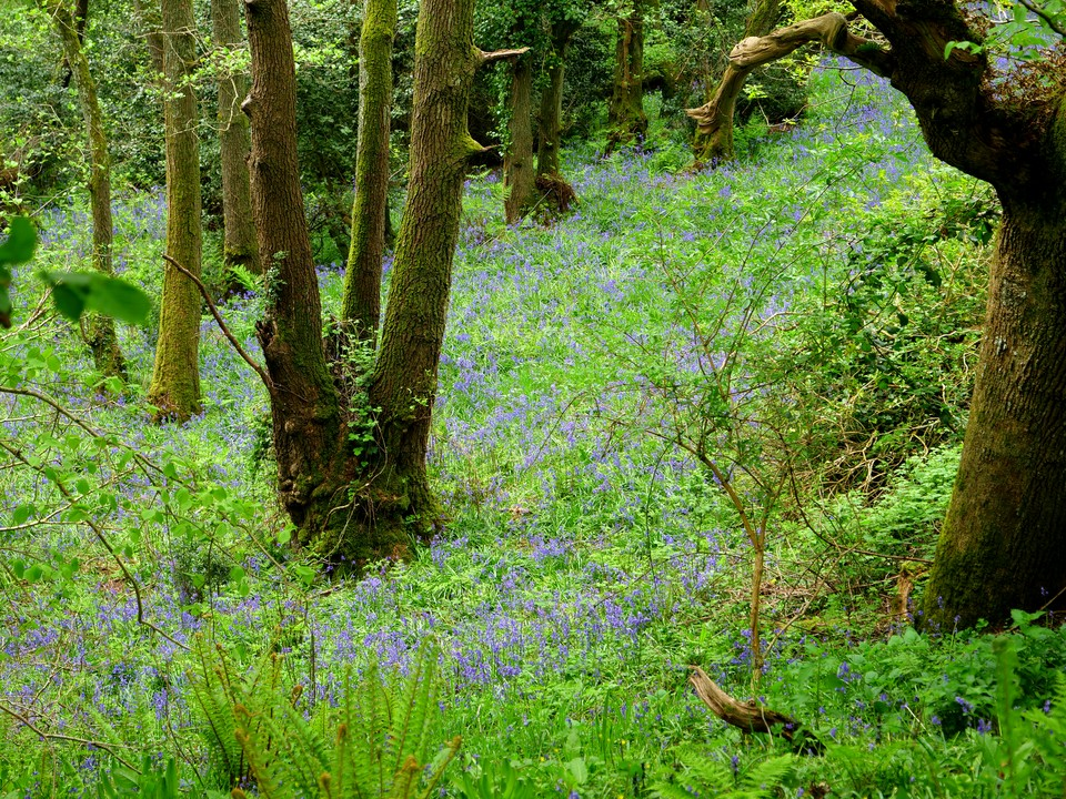 Bluebells in the woods below Musbury castle