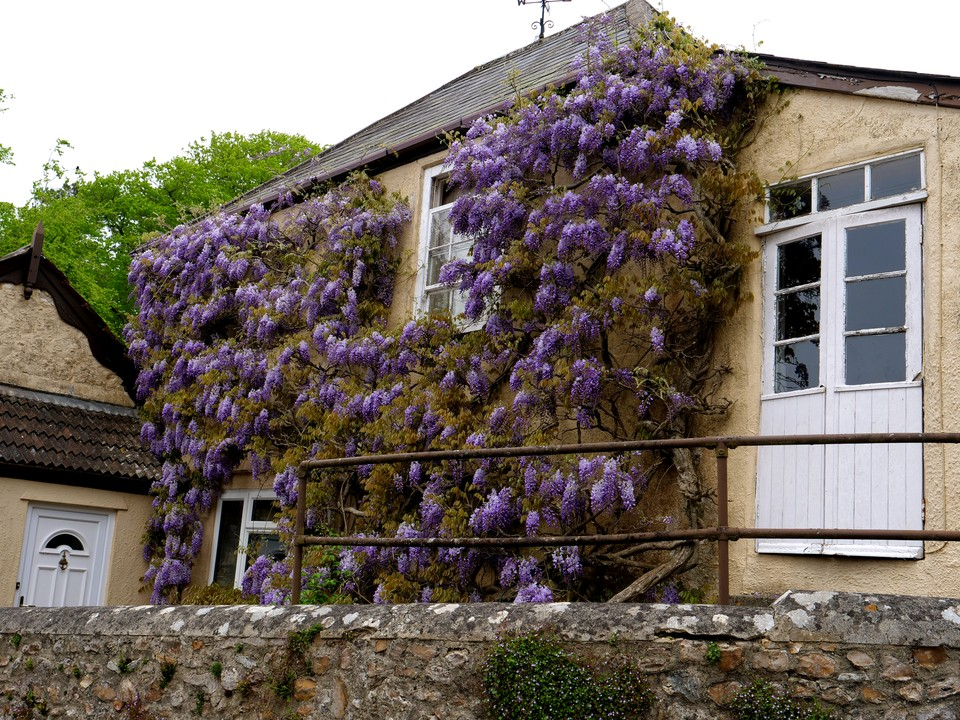 Musbury village, wisteria in bloom