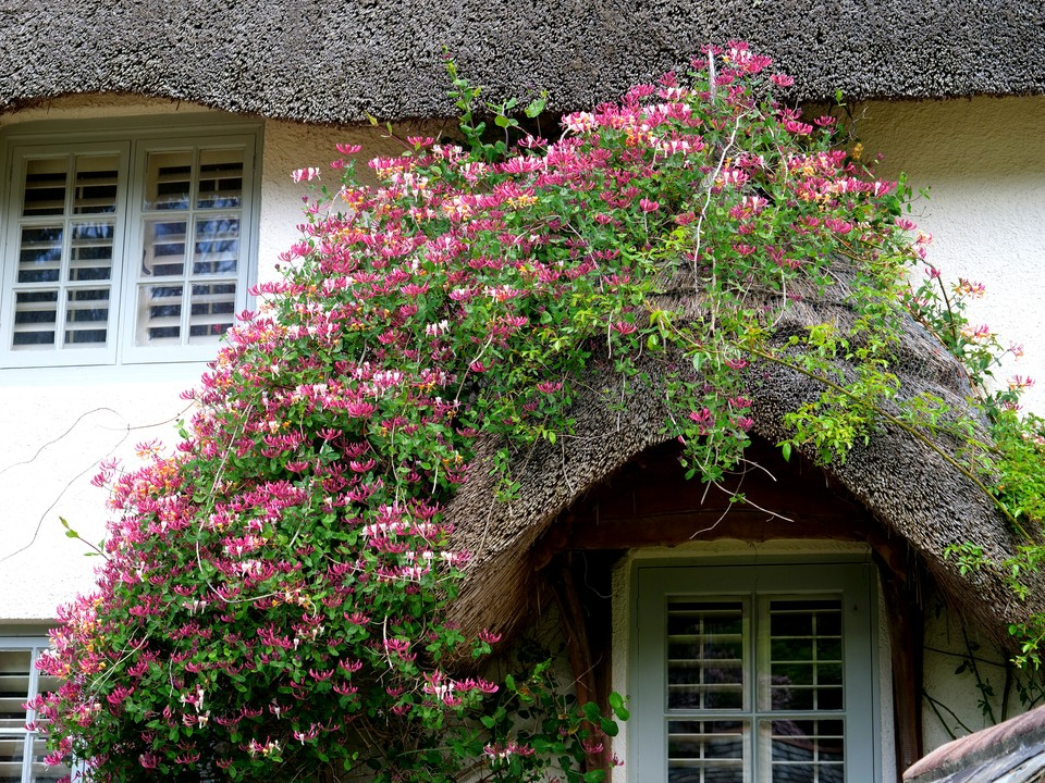 Honeysuckle covering a thatched roof at the head of Batson Creek