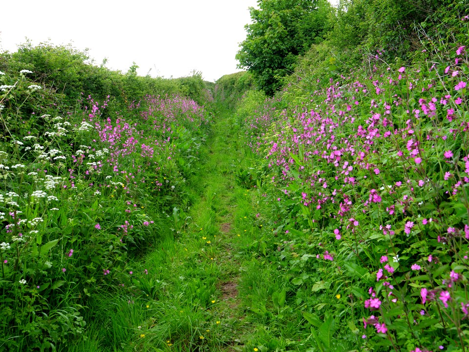 The path up from Combe is lined with flowers. Mostly red campion here