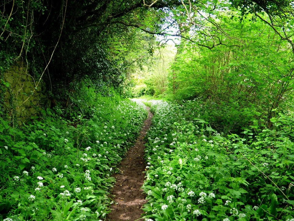 More wild garlic lining the path