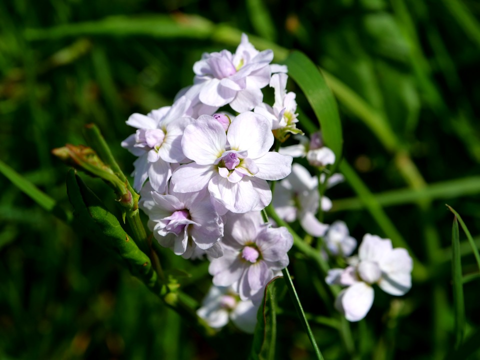 A double form of Cardamine pratensis in fields at Buckland Monochorum. The plant is also known as Cuckooflower, Lady's Smock