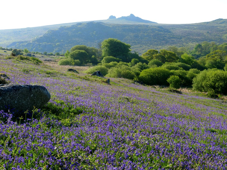 Looking towards Haytor from the bluebells on Holwell Lawn