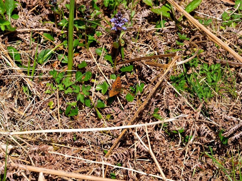Butterfly.Small Pearl-bordered Fritillary Boloria selene