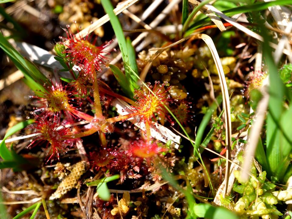 Sundew, Drosera rotundifolia