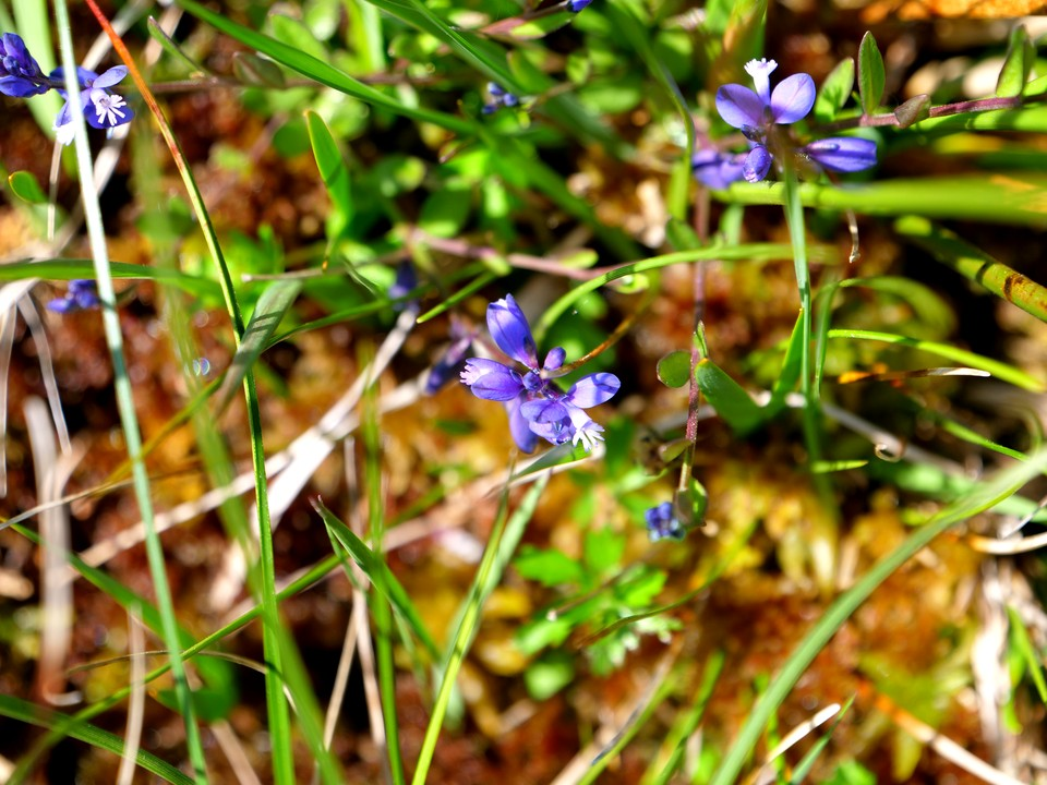 Milkwort, Polygala vulgaris These tiny flowers are worth a close examination.