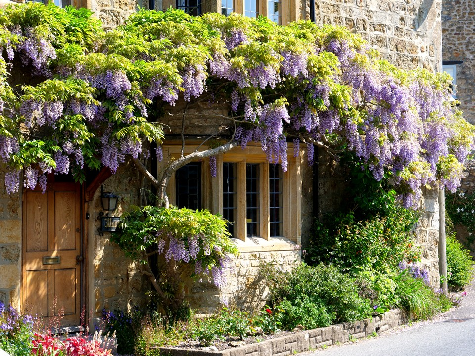 Beaminster, an old house with Wisteria