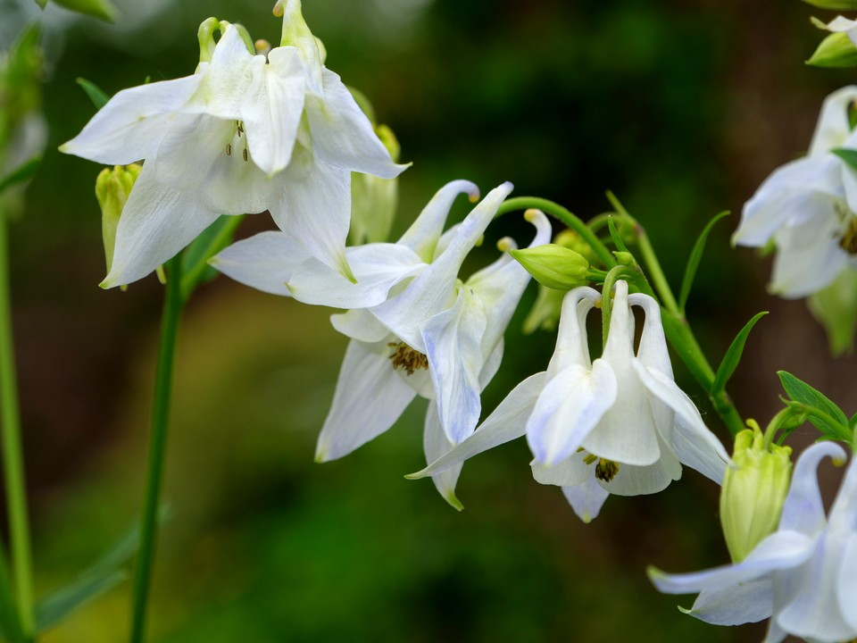 I like this white with a hint of blue aquilegia