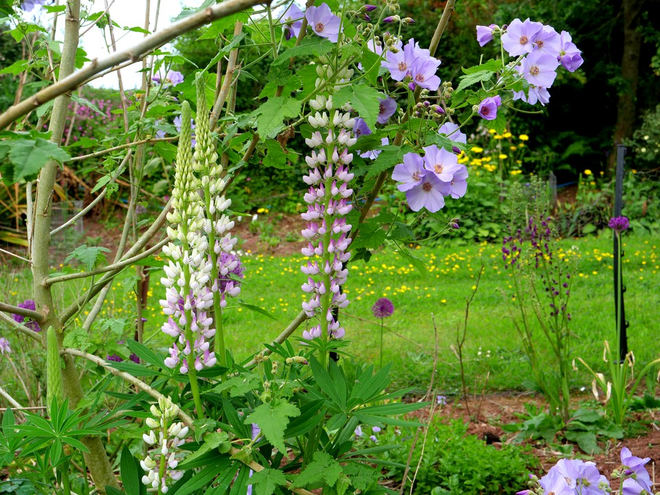 A lupin that opens white and then turns pink, growing beneath the Abutilon