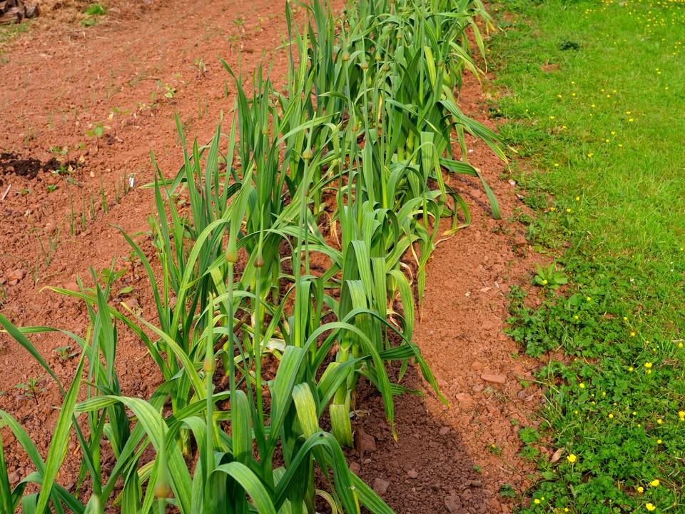 Elephant garlic loves this soil. I will let them flower.