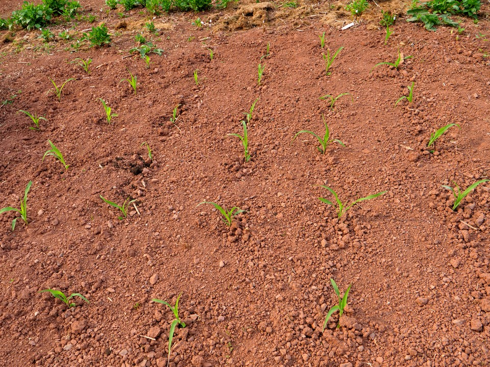 Sweetcorn now planted outside and looking good.