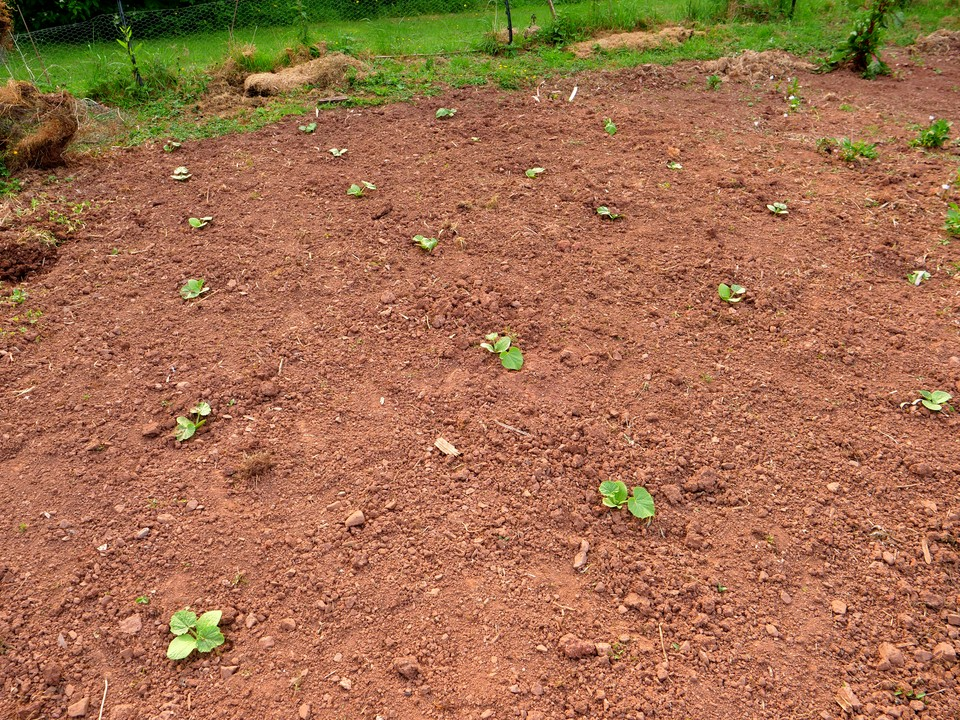 Winter squash planted outside, but not growing very fast