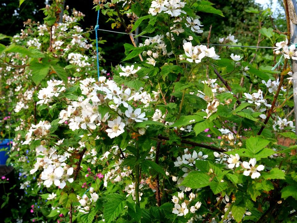 Loganberries in full bloom