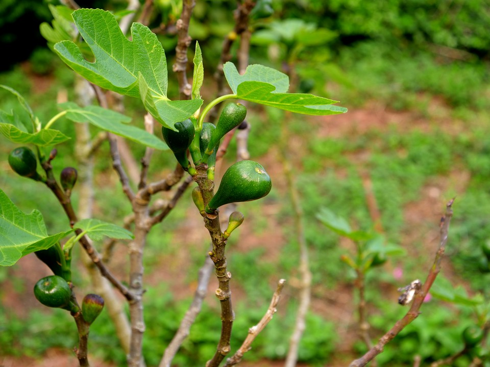 A good crop of figs strating to develop