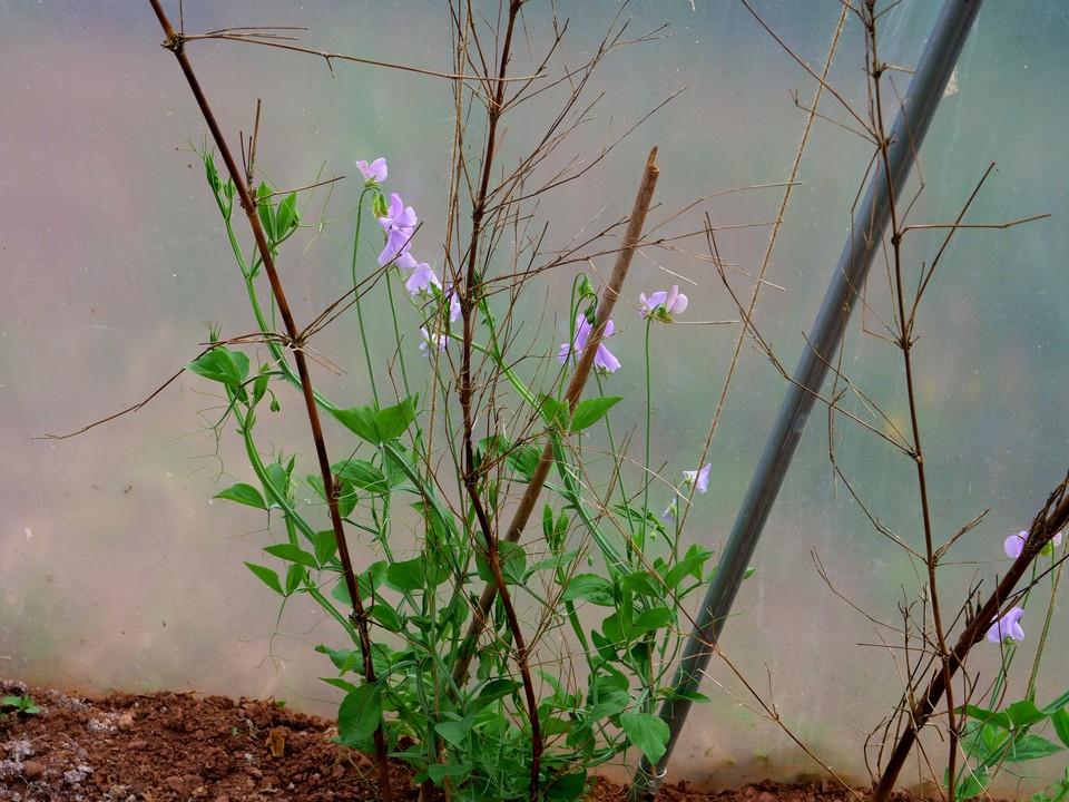 Some self sown sweet peas now in bloom