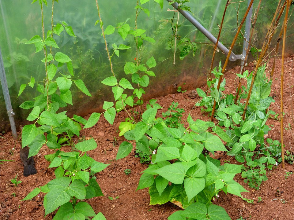 Runner beans and French Beans with their first flowers