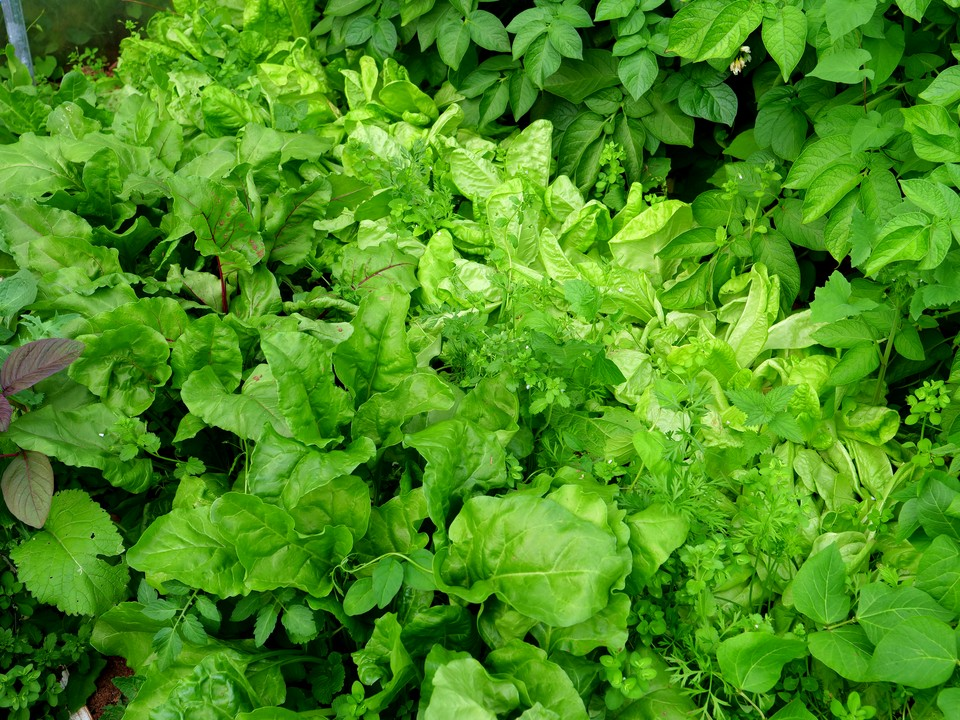 The next crop of beetroot and lettuce, under cover.