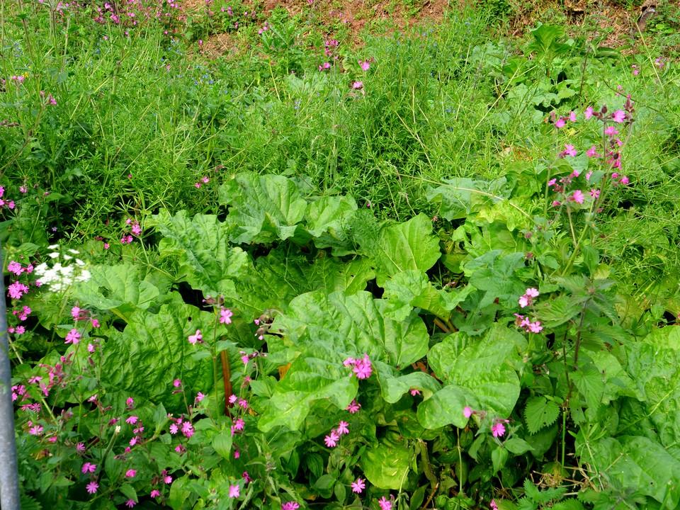 Rhubarb growing well, but needs weeding!