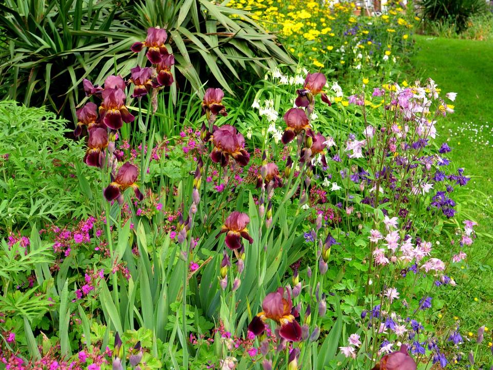 Flag iris, Aquilegia and Doronicum.