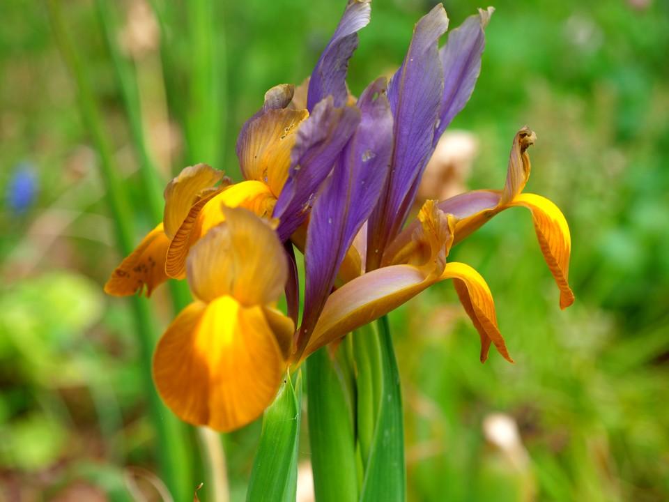 Golden Dutch Iris