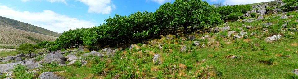 Dartmoor Panorama . The edge of Black a Tor Copse. Ancient woodland and National nature reserve