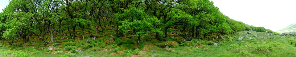 Dartmoor Panorama: Black a Tor Copse. Ancient woodland and National nature reserve