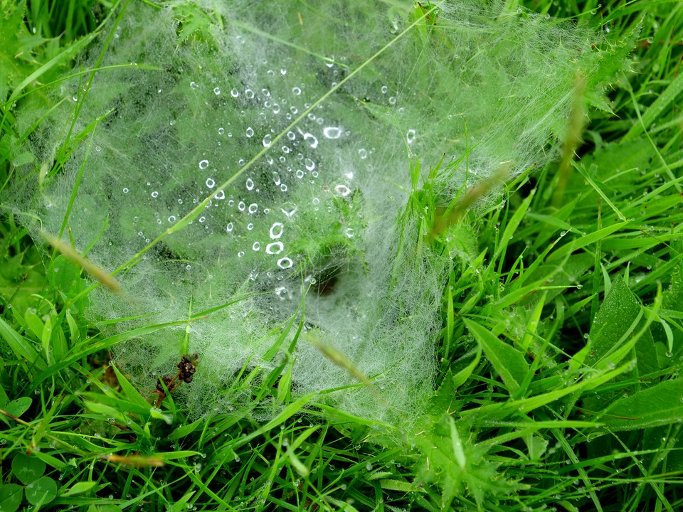 A funnel web spider in the grass