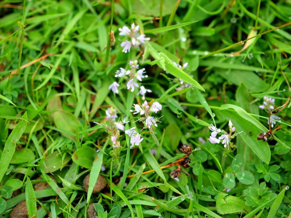 Milkwort, white