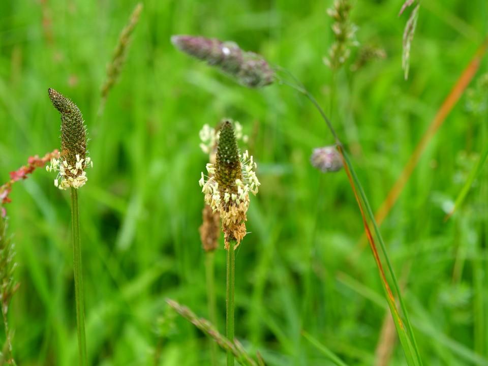Ribwort plantain: Plantago lanceolata