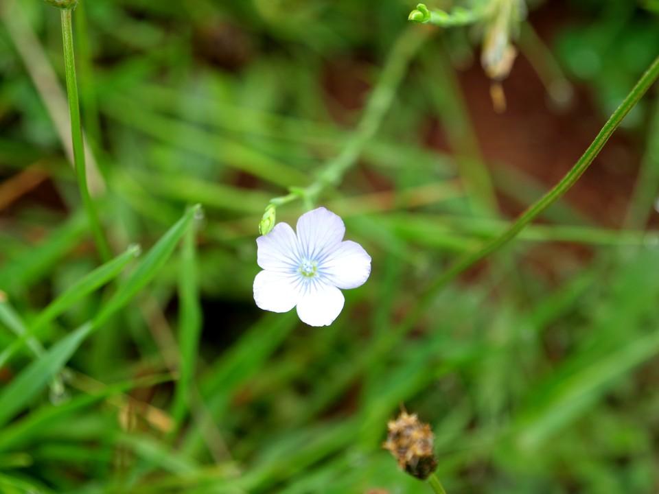 Pale Flax: Linum bienne
