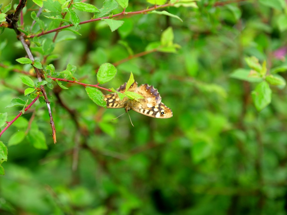 One of many butterflies seen today