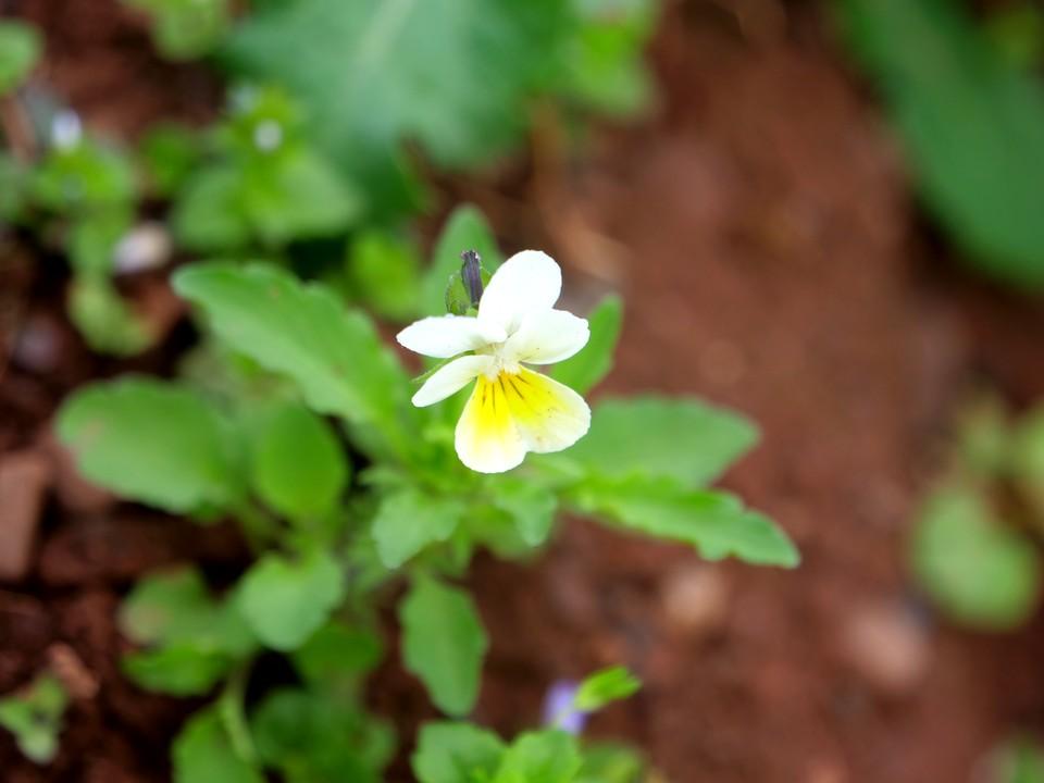 Field Pansy: Viola arvensis