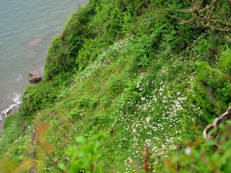 Daisy on the steep cliffs
