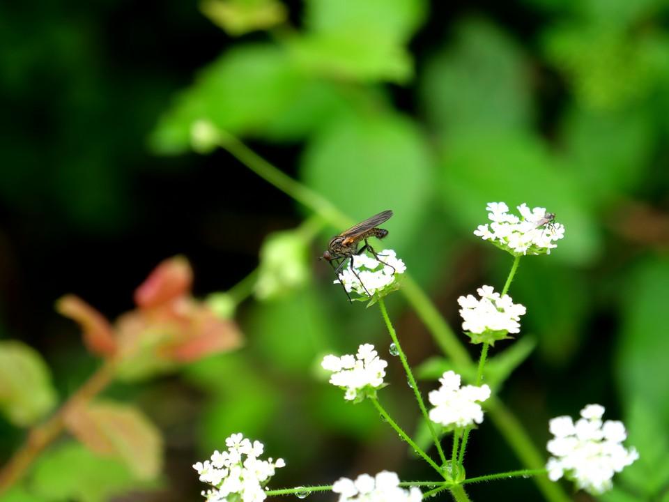 Flies on umbelliferae