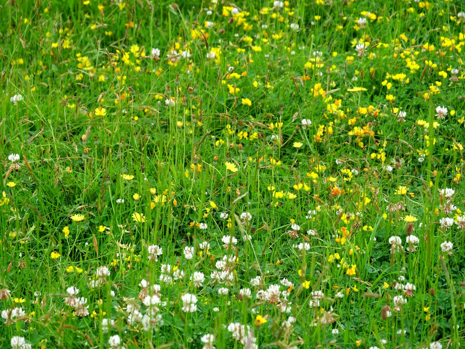 Flower rich meadow with trefoil and clover
