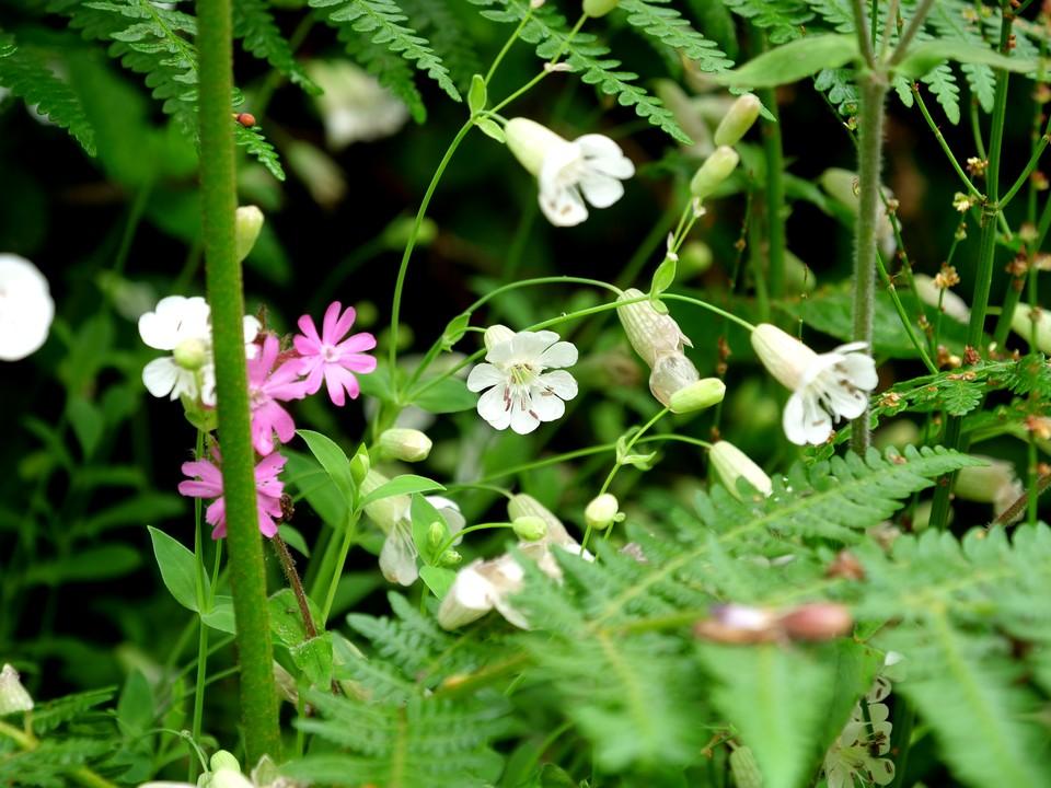 Bladder Campion: Silene vulgaris