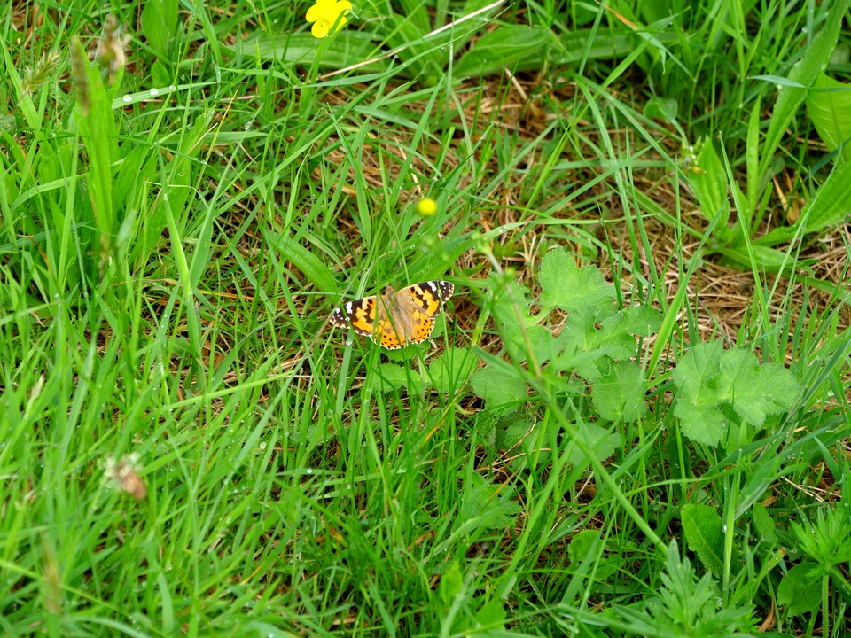 Butterfly Painted Lady: Vanessa cardui