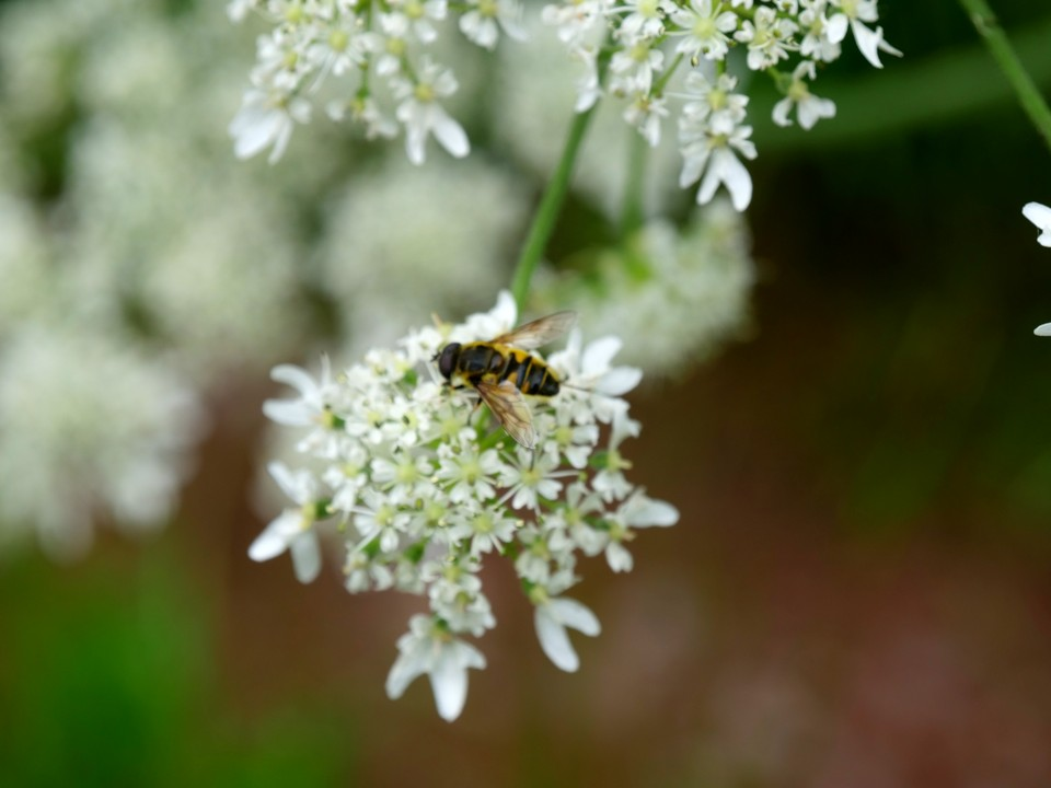 Insects on umbelliferae