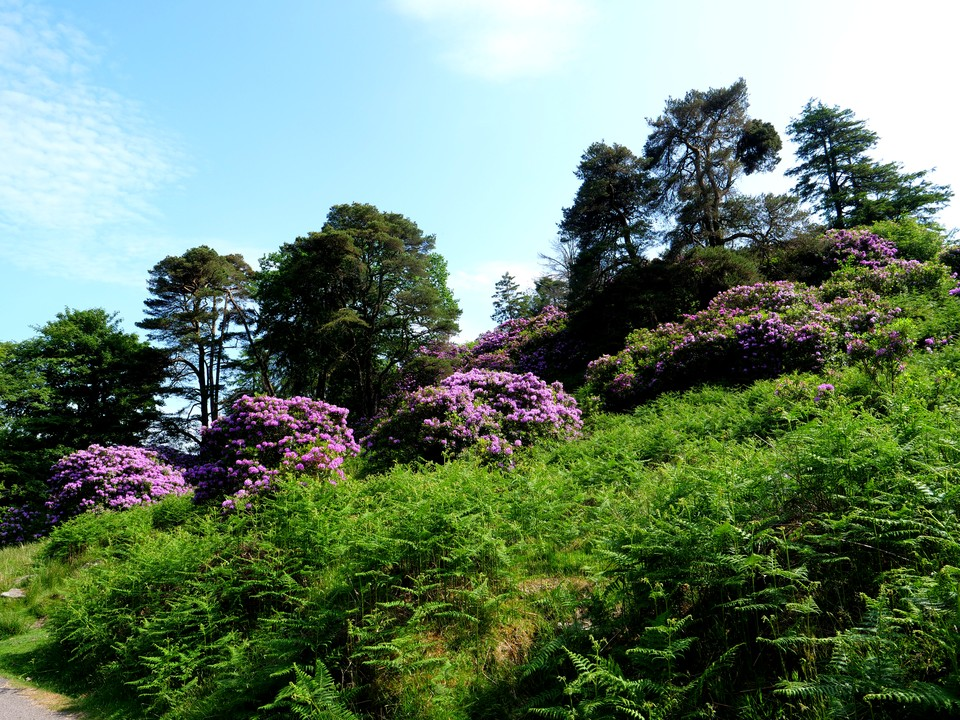 Rhododendrons below the Avon Dam