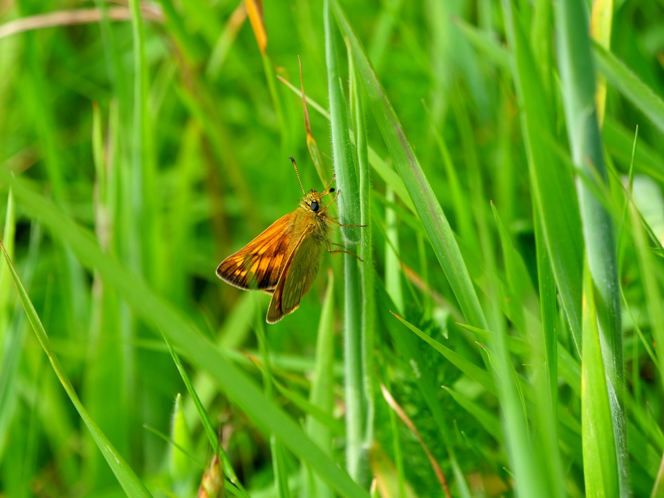 Butterfly: Large Skipper Ochlodes sylvanus