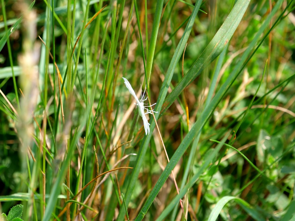 White Plume Moth Pterophorus pentadactyla