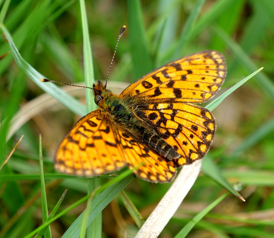 The vegetation here had not been recently grazed and was full of butterflies: Small Pearl bordered Fritillary Boloria selene